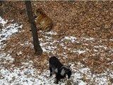 山羊与老虎成亲密好友