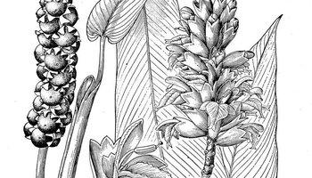 姜䲹a�_所属科:zingiberaceae 中文名:长柄山姜 文献来源:alpinia kwangsie