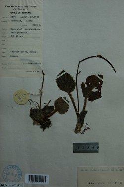 圆叶唇柱苣苔