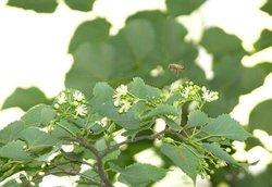 即中国的紫椴;东南亚的棱柱木;非洲梧桐木;美国鹅掌楸等几个树种.图片