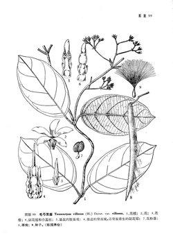 短柱弓果藤(变种)toxocarpusvillosus