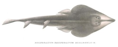 Rhinobatos schlegelii, Photo by MUELLER&HENLE, 1838.