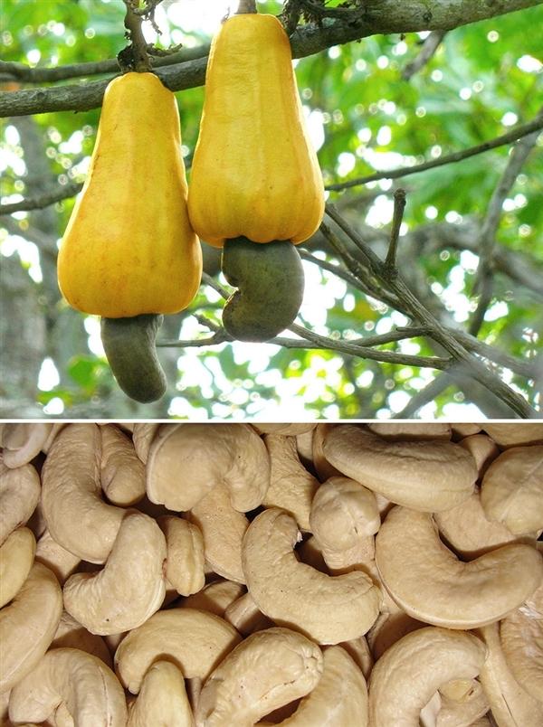 腰果、蔓越莓、开心果…这些植物你都见过吗? - 周公乐 - xinhua8848 的博客