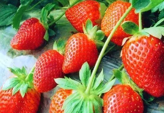 阳台这样种草莓 一盆能结5斤来!