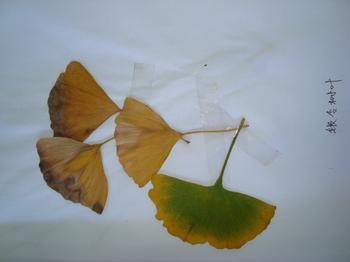 常见的树叶名称及图片