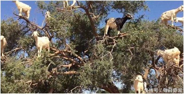 """老远看见一棵树上长满""""山羊"""",走进细看,边惊叫边拍照"""