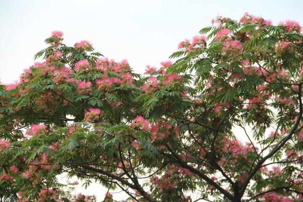 合欢树的树皮及花可供药用,有安神解郁,活血止痛,开胃利气之功效,提取