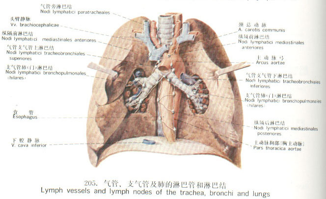 锁骨区淋巴肿大解剖结构图解