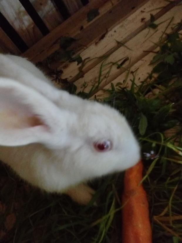 这是什么种类的兔子 怎么分公母,一定要告诉我怎么分公母图片