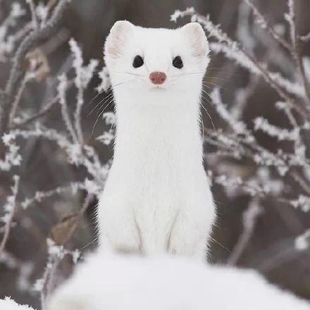 白鼬可以做宠物吗?哪里有卖的,超级萌啊,比雪貂还萌的