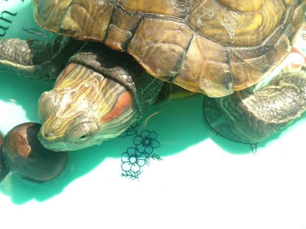 幼儿树叶动物乌龟拼图
