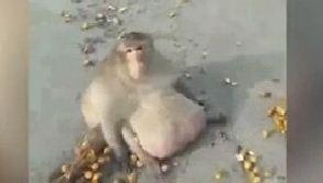 泰国猴子胖成猪 疑因游客投食过度 - 钟儿丫 - 响铃垭人