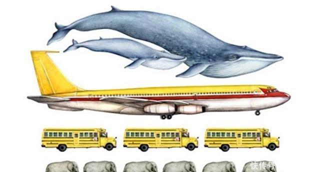 蓝鲸个头有多大心脏像个小汽车,舌头能站50人