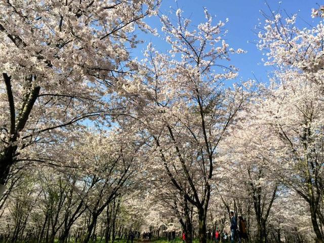 在这赏花的季节,邂逅贵州平坝万亩樱花园