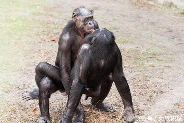 奇特的动物!倭黑猩猩疯狂性行为:一言不合就交配,无所