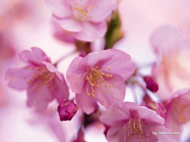 桃花花瓣大多呈尖圆形
