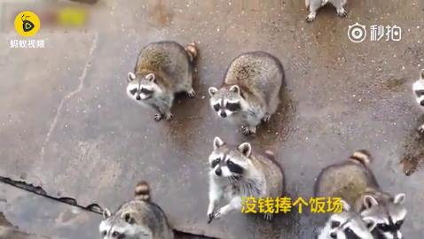 """小浣熊集体""""乞讨"""" 居然还有举手的"""