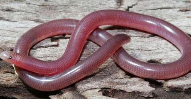 世界上最小的蛇--钩盲蛇