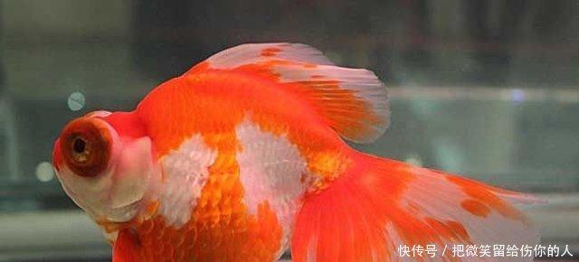 金鱼到底可不可以吃终于有答案了