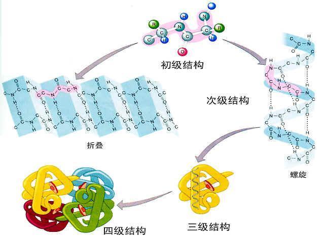 和免疫电镜为主的细胞器形态学观察和亚细胞蛋白定位