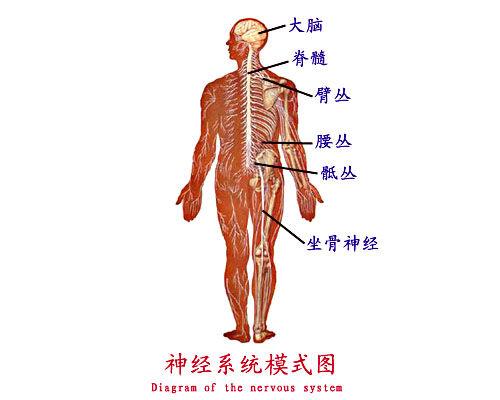 人体神经系统的主要组成