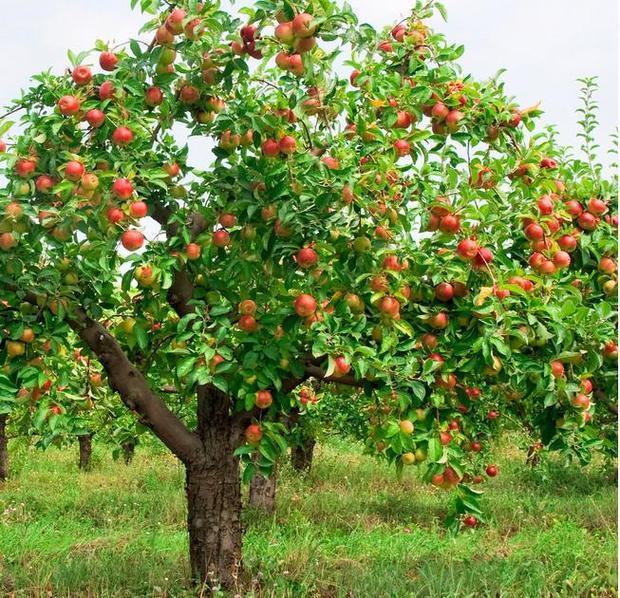 苹果,西瓜的树木的图片有哪些