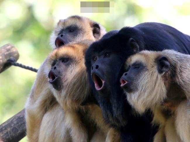 吼猴是地球上声音最响亮的陆地动物,它们的叫声可以传到3英里(近5公里