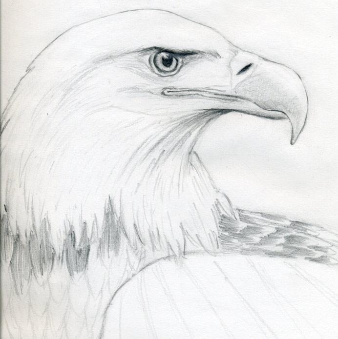 素描手绘老鹰图片