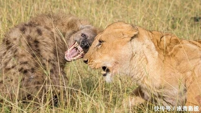 鬣狗和狮子的争斗,竟不是猛咬,而是用头顶头激战