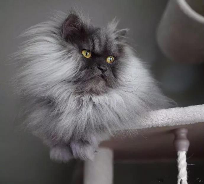一只长相酷似鳌拜的猫咪,有粉丝无数