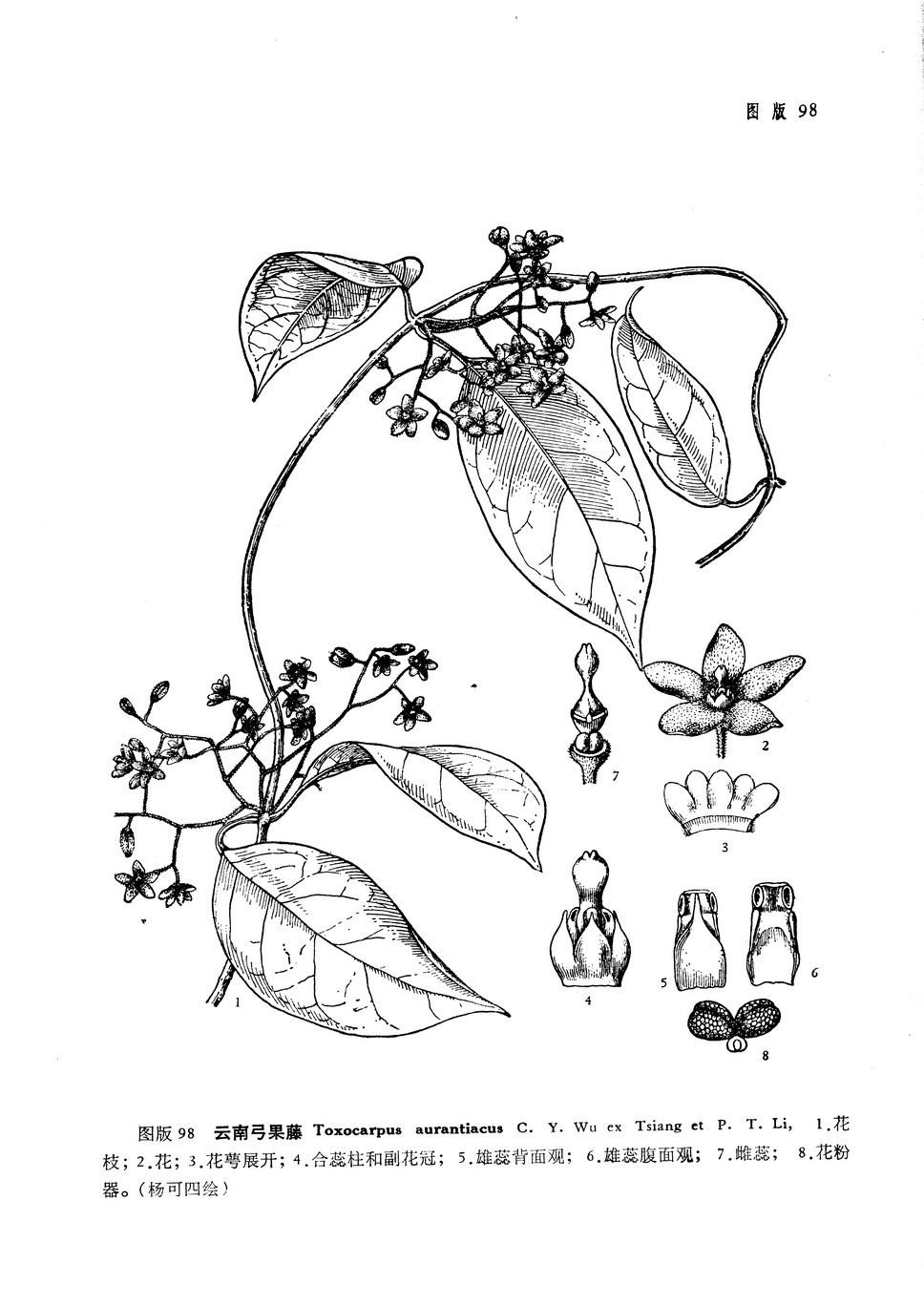 云南弓果藤(植物分类学报)图版98