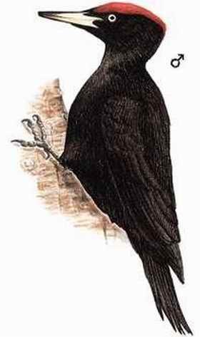 中文名称:黑啄木鸟 英文俗名