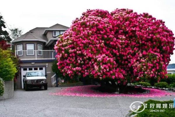 世界上最美的树,中国也有一棵