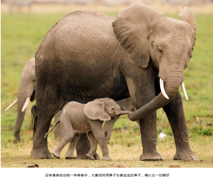 常见的非洲草原象是世界上最大的陆生哺乳动物