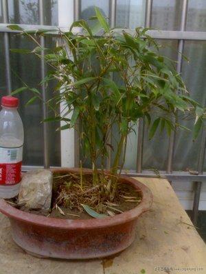 这个竹子怎么养 是什么竹?