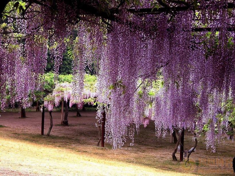 紫藤萝瀑布 - 长天秋水2 - 长天秋水 的博客