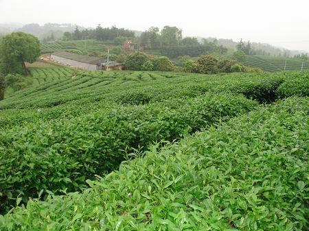 适宜茶叶生长
