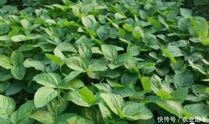 大豆需要喷施尿素吗?补充这种微量元素,氮源充足,荚多粒饱满