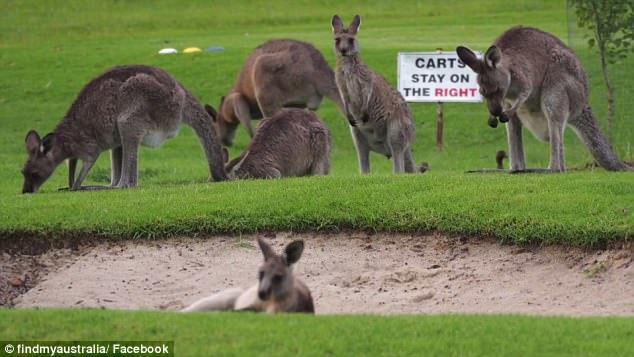 澳大利亚高尔夫球场被袋鼠占领了 -  - 真光 的博客