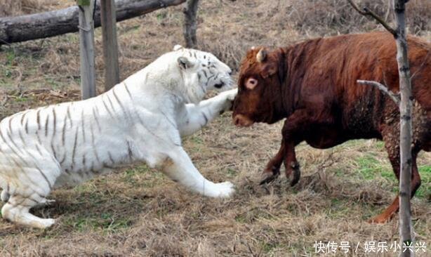 白虎超自信的挑衅小牛,不料小牛脾气超大,最后把白虎骑地上咬!