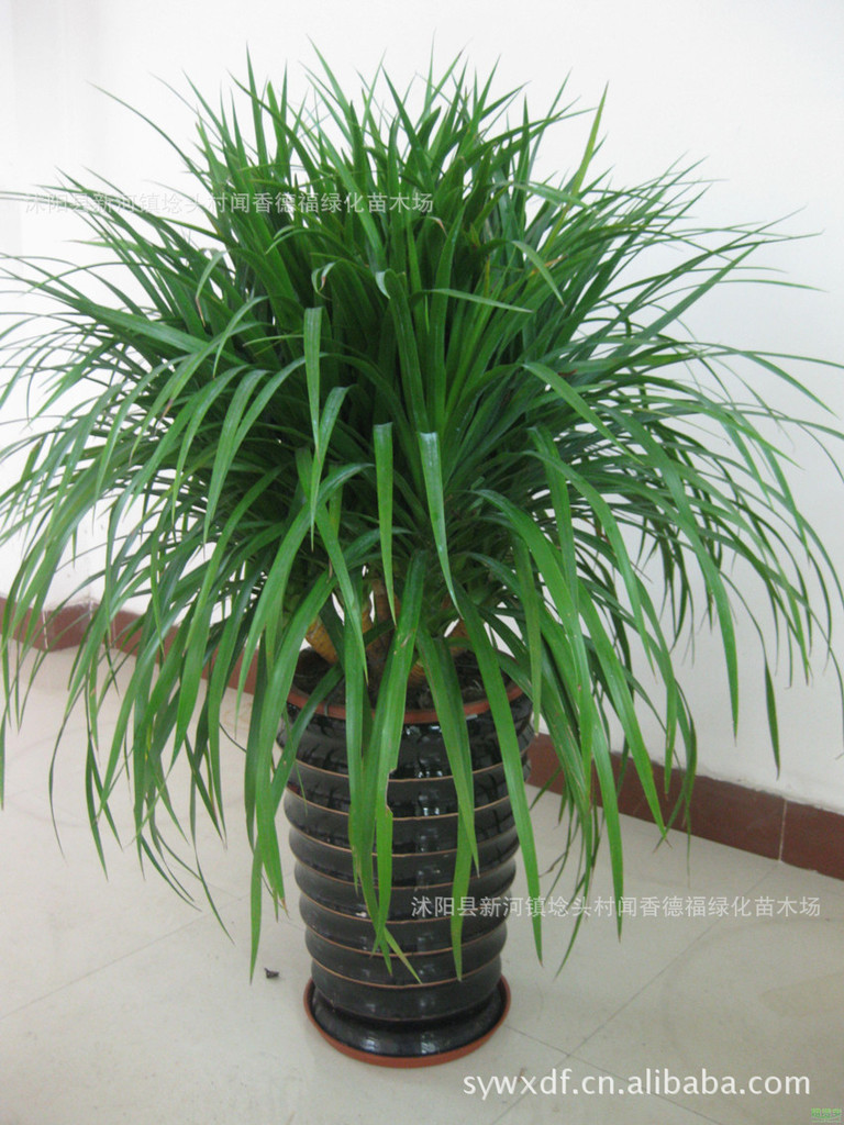绿叶的多年生木本植物