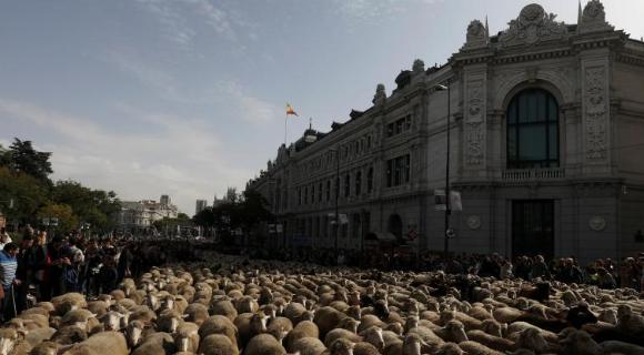 """西班牙牧羊人驱赶羊群穿越马德里 羊群进城""""参观"""""""