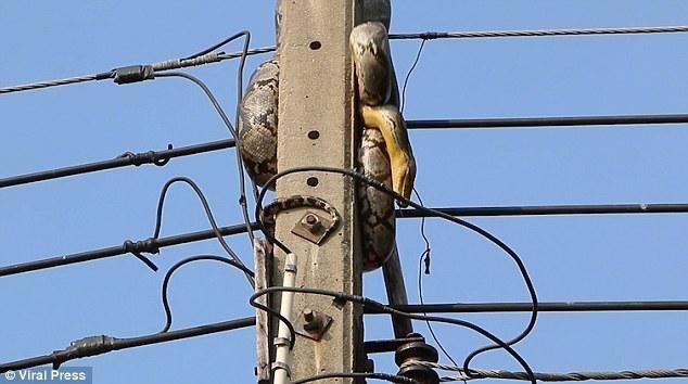 【转】北京时间     3米长蟒蛇爬电线杆 与人类拔河两小时 - 妙康居士 - 妙康居士~晴樵雪读的博客
