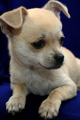 可爱的小狗动态壁纸