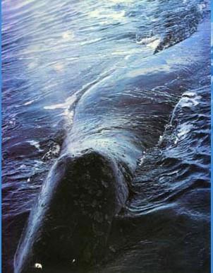 是生活于北极圈的唯一大型鲸豚类动物
