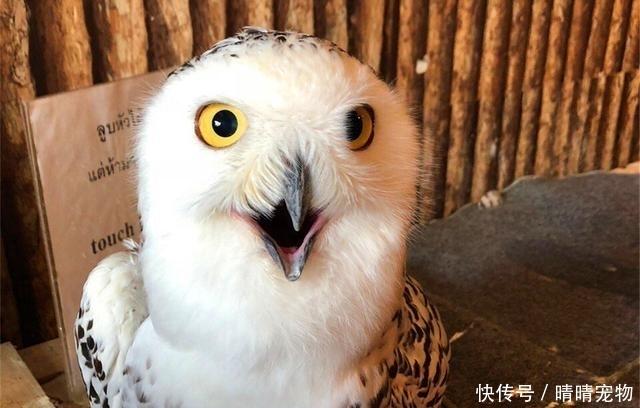猫头鹰喝完表情后笑脸大变,高冷脸变搞表情,醉解除如何啤酒包图片