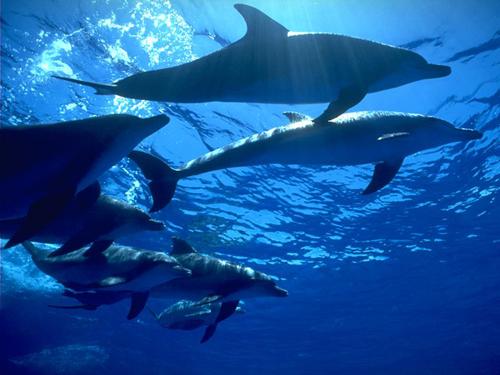 太平洋鼠海豚