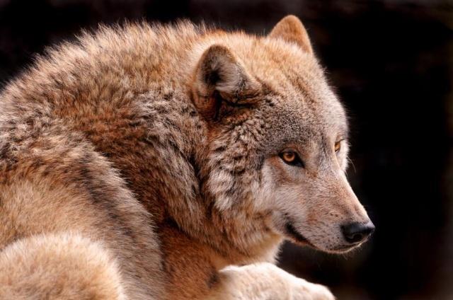 带狼的qq头像