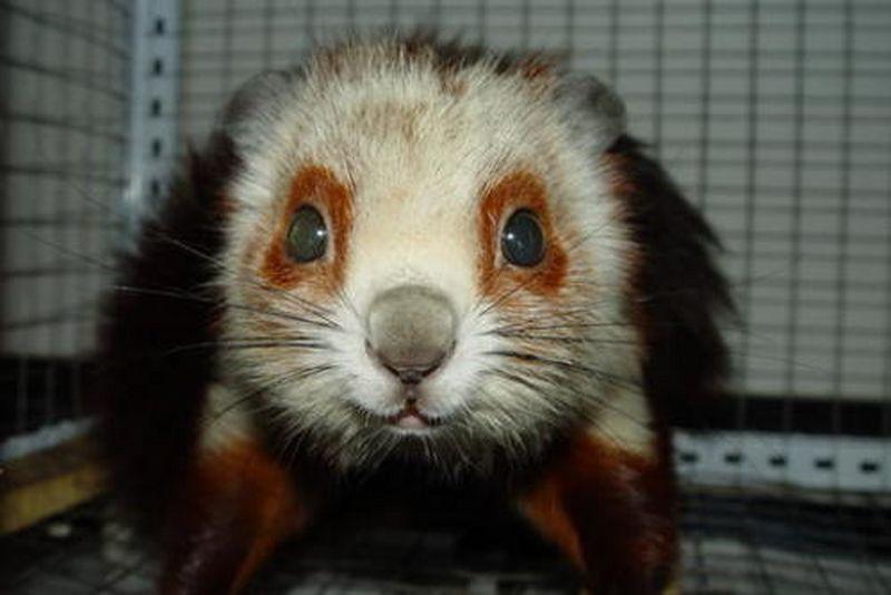哺乳动物中的滑翔能手——鼯鼠