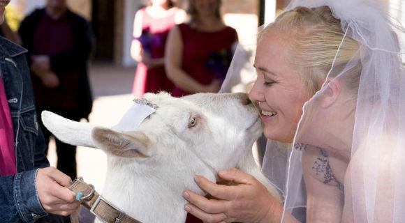 澳大利亚新人不走寻常路 山羊当戒童有点酷